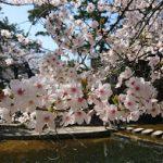 夙川・芦屋川でお花見散歩 2018桜だより