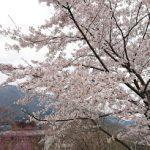 箱根強羅公園 スプリングナイトガーデンで満開の桜を楽しみました April,2019